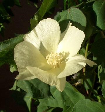 この時期のワタの花….