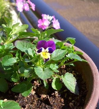 こぼれ種ビオラ開花