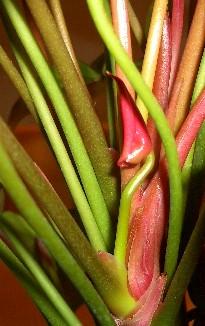 アンスリウムの花芽