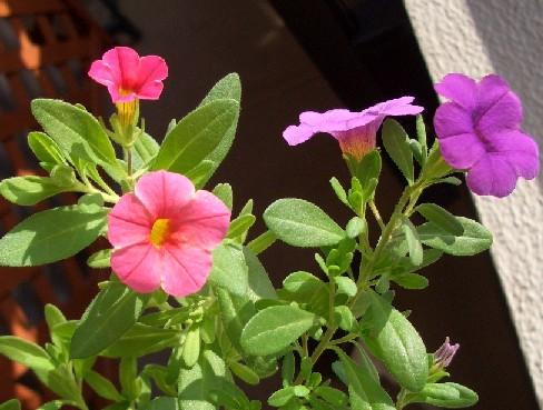 カリブラコア ピンクも咲きました♪