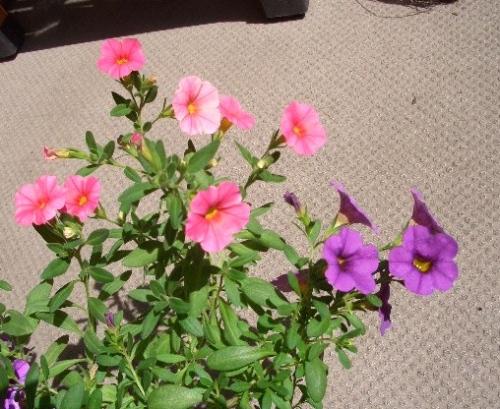 カリブラコアの花たち
