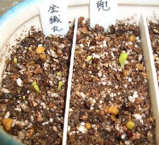 サボテン実生第一弾 播種から9日 その1