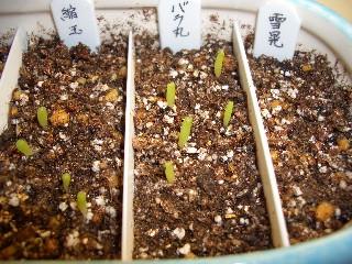 サボテン実生第一弾 播種から9日 その2