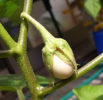 タマゴが育ってます
