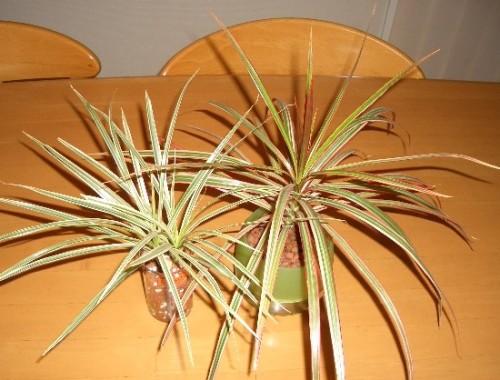 ドラセナ・コンシンナ2種