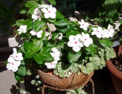 ニチニチソウの花たち