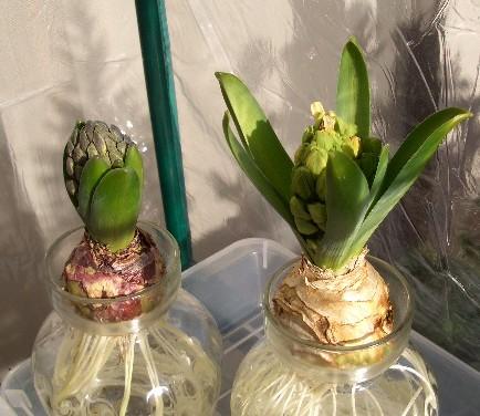 ヒヤシンスの花芽
