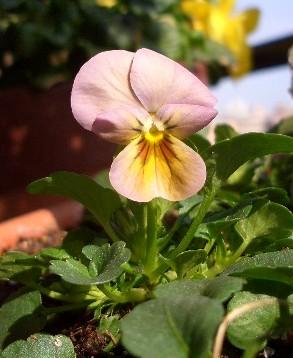 ビオラ「ビビ」アンティークミックスからの花