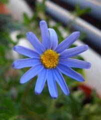ブルーデージーの花