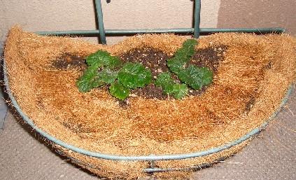 プリムラと寄せ植え