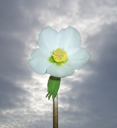 ヘレボレス・ニガーの花