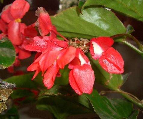 ベゴニア ドラゴンウイングの花