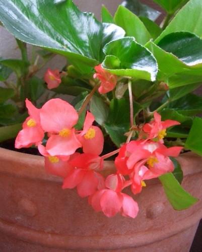 ベゴニア「ドラゴンウイング」の花