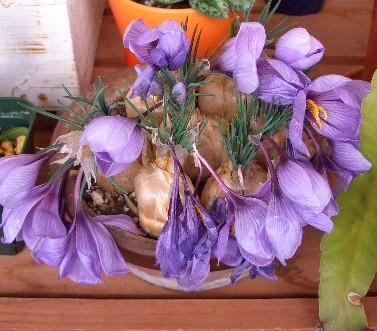 ベランダのサフランの花