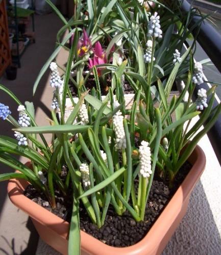 ムスカリ2種類開花