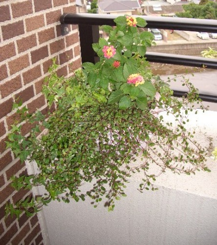 ランタナの寄せ植え 刈り込み後