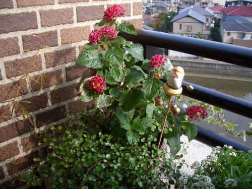 ランタナ今年最後の花