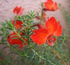 初恋草ミチコリベールの花