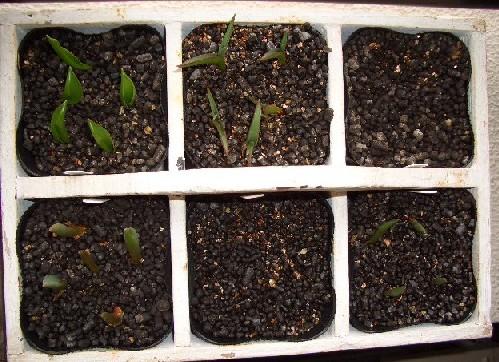 原種チューリップ6種類
