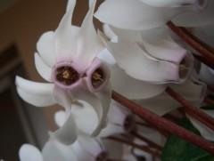 双子のシクラメンの花