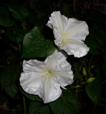 夜顔(白花夕顔)の花