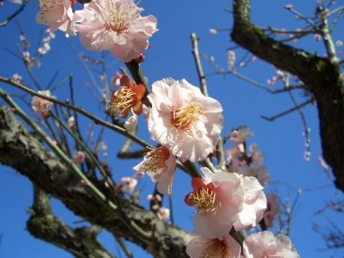 大宰府梅の花