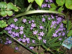 実家のベルフラワーの花