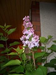 実家のライラックの花