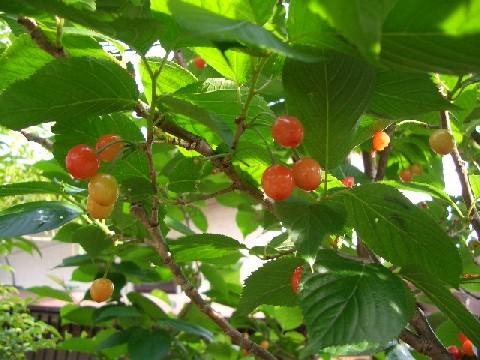 実家の桜桃の実