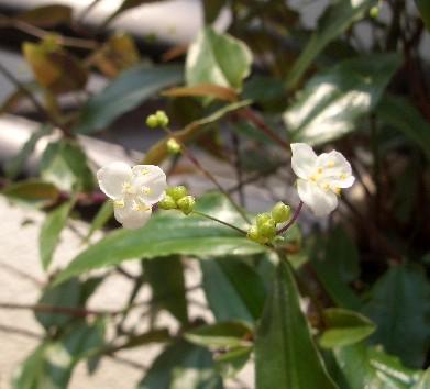 挿し木のブライダルベールも花が咲きました!