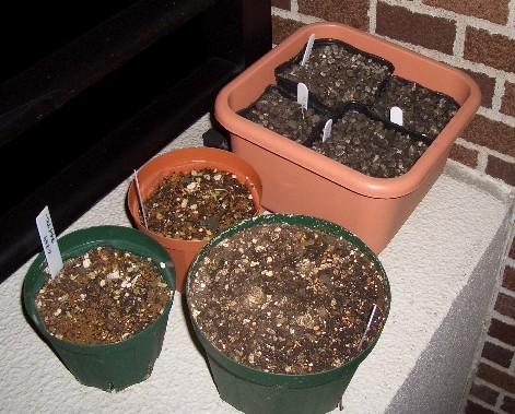 植えっぱなしのムスカリ鉢(右手前は水仙)