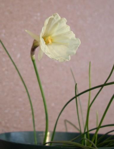 水仙 バルボコディウム「モノフィラス」開花