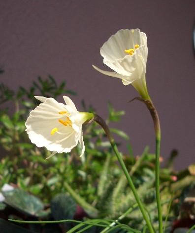 水仙 バルボコディウム「モノフィラス」開花その3