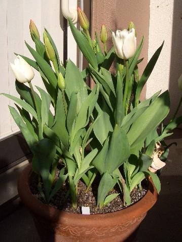 真冬に咲いているチューリップ 72日目