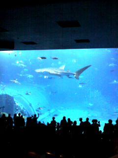 美ら海水族館大水槽のジンベイザメ