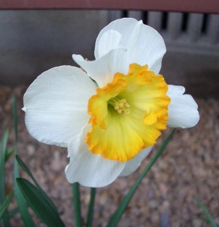謎のスイセン開花